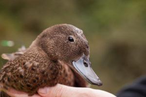 brown-teal-pateke-rare-bird-duck