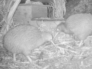 Put Out a Kiwi Nesting Box
